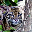 Formosan clouded leopard — Stock Photo