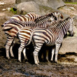 Royalty-Free Stock Photo: Several zebras