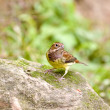 Chestnut Bunting a bird stand on rock — Foto Stock