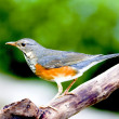 Grey-backed Thrush a bird — Stock Photo