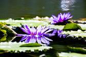 Loto de floración — Foto de Stock