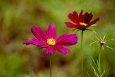 Fiori cloroful di Cosmos bipinnatus — Foto Stock