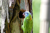 Black-browed Barbet a bird — Stock Photo