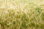 Barley farm — Stock Photo