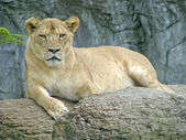 Female lion — Photo