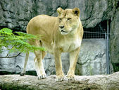 Female lion — Foto de Stock