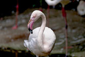 Flamingo a bird — Stock Photo