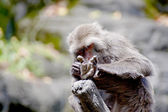Formosan macaque a monkey — Stock fotografie