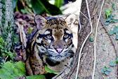 Formosan clouded leopard — Stock Photo