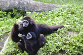 White-handed gibbon a animal wildlife — Stock Photo