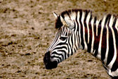 シマウマの頭 — ストック写真