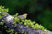Red-headed Babbler a bird — Stock Photo
