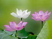 Bloom lotus — Stock Photo