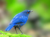 Taiwan Whistling Thrush a bird — Stock Photo