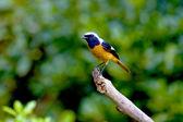 Daurian Redstart a bird — Stock Photo