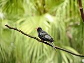 Black Bulbul a bird — Stock Photo