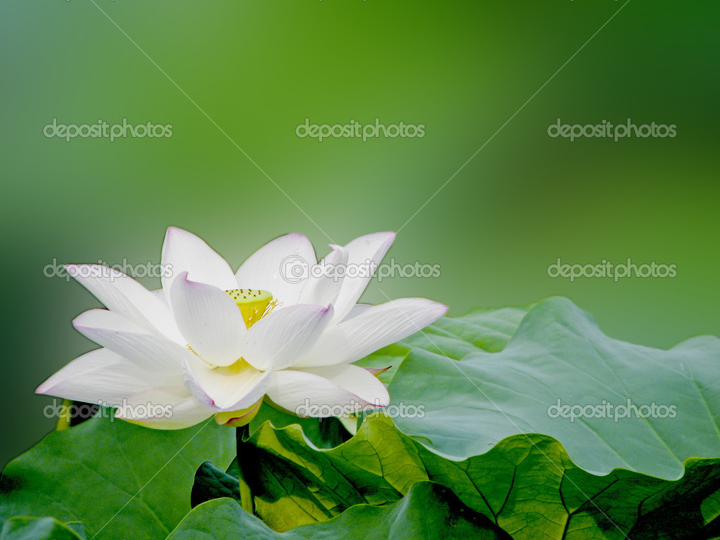 A white bloom lotus with seed and leaf in summer — Stock Photo #5953398