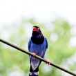 Formosan Blue Magpie — Stock Photo #6037380