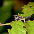 Locust nymphae — Stock Photo #6465557