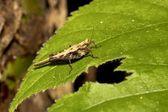 Locust nymphae — Foto Stock
