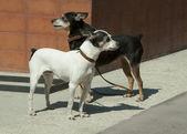 Dwa psy — Zdjęcie stockowe