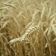 Stock Photo: Classes of wheat grain