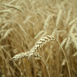 Classes of wheat grain — Stock Photo #5985981