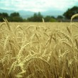 Classes of wheat grain — Stock Photo