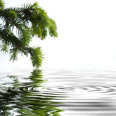 Pine branches reflecting in the water — Stock Photo