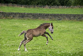 Prancing Foal — Stock Photo