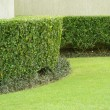 Stock Photo: Green Hedge