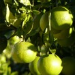 Royalty-Free Stock Photo: Limes on tree
