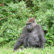 Gorilla — Stock Photo #6210312