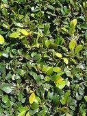 Ficus leaves — Stock Photo