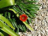 Red daisy — Stock Photo
