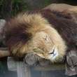 Stock Photo: Lion asleep