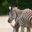 Постер, плакат: Black and White striped Zebras