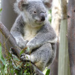 Australian Koala Bear — Stock Photo