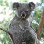 oso koala australiano — Foto de Stock