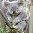 Australian Koala Bear - Stock Photo