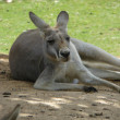 Stock Photo: Australian Kangaroo