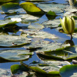 Stock Photo: Lily Pond