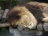 Lion asleep — Stock Photo