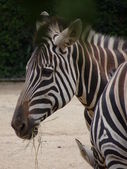 Black and White striped Zebra — Stock Photo