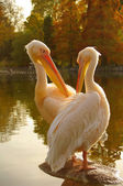 A couple of Rosy Pelicans at the Luise Park in Mannheim, Germany — Stock Photo
