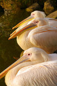 Rosy Pelicans at the Luise Park in Mannheim, Germany — Stock Photo