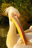 Rosy Pelican at the Luise Park in Mannheim, Germany — Stock Photo
