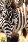 Zebra's head — Stock Photo