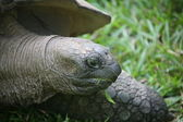 Giant tortoise. Seychelles. — Stock Photo
