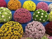 Chrysanthemum balls — Stock Photo